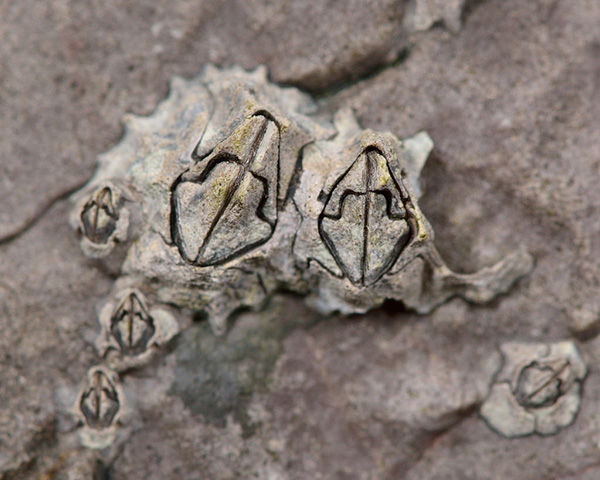 Common Acorn Barnacle