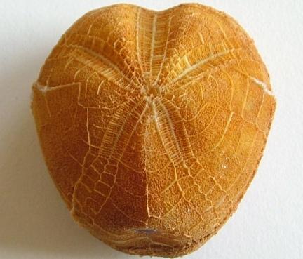 Echinoid