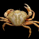 Common shore crab