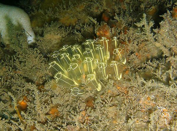 Light Bulb Sea Squirts